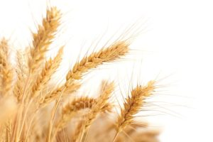 wheat-2679158_640